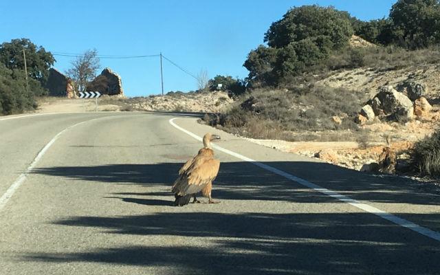 Buitre parado en la carretera en el Parque Natural de Barranco del río Dulce - Destino y Sabor