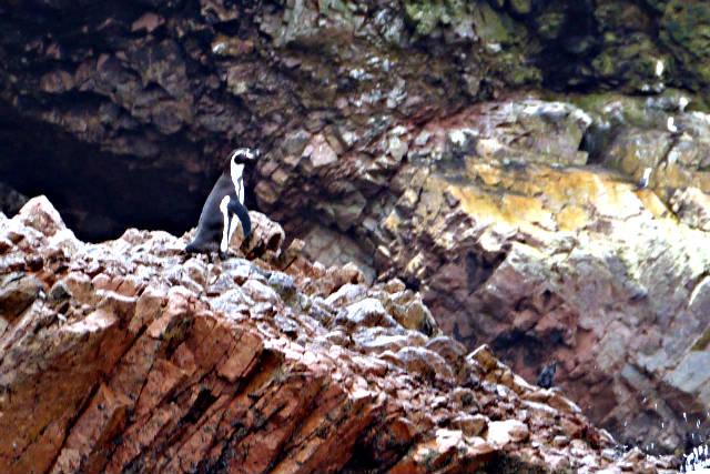 Pingüinos de Humboldt - Destino y Sabor