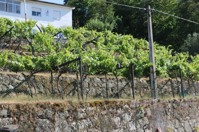 Viñedos plantados en las proximidades de Lamego - Destino y Sabor