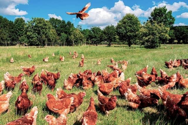 Pastoreo de gallinas - Imagen del Pazo